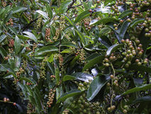 Green Antidesma  bean, Antidesma  tree with beans. Green Antidesma  bean Antidesma  tree with beans Stock Photography