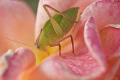 Green aphid on pink rose Stock Photography