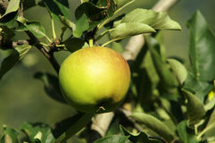 Green Apple. A green apple in the trees Stock Image