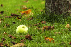 Green apple. On the grass in the autumn Stock Photography