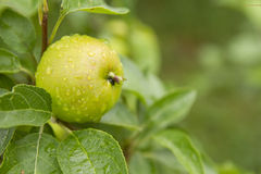 Free Green Apple Stock Images - 23235814
