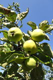 Green apple. S in tree, apple tree and Royalty Free Stock Image