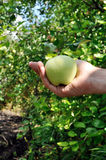 Green apple in arm Royalty Free Stock Image