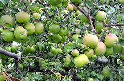 Green Apple Background. Green apples, some with a blush of pink, nearly ripe for picking at an orchard in Michigan Stock Photo