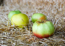 Green Apple Background. Lots of green ripe apples, background Stock Image