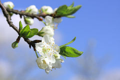 Green Apple Blossom. Beautiful bloming apple branch and blue sky Stock Image