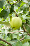 Green apple on branch Stock Photo
