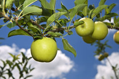Green apple on branch. Against blue sky Royalty Free Stock Image
