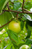 Green apple on a branch Royalty Free Stock Photos