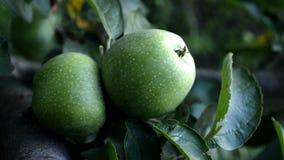Green apple. Royalty Free Stock Photos