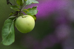 Green apple on a branch royalty free stock photo