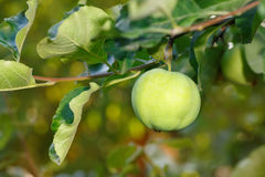 Green apple on a branch Stock Image