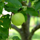 Green apple on a branch with leaves Royalty Free Stock Photo