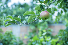 Green apple on a branch Royalty Free Stock Image