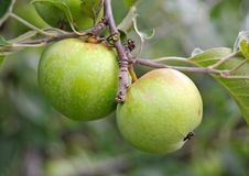 Green apple on the branch Stock Image