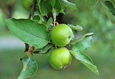 Green apple on the branch Royalty Free Stock Photo