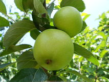 Green apple on the branch of tree Stock Photography