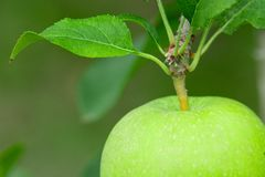 Green Apple. Close Up. Stock Image