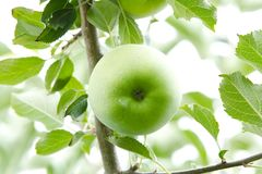 Green Apple. Close Up. Royalty Free Stock Image