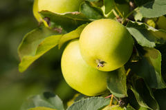 Green Apple. Close Up. Stock Image