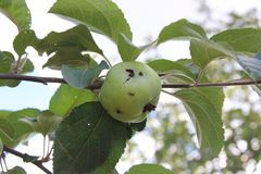 Green apple damaged by a worm on a branch. Organic orchard royalty free stock images