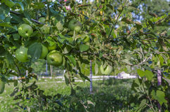 Green apple tree Royalty Free Stock Image