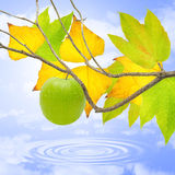 Green apple in fall. Stock Photos