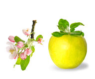 Green apple fruit and apple tree blossom Royalty Free Stock Photography