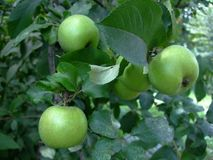 Green Apple fruits grow on branch among leaves on tree stock images