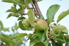 Green apple fruits on tree. Close-up of green apple fruits on tree at sunny day in Ladakh, North of India Royalty Free Stock Photography