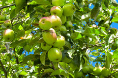 Green apple fruits on the tree stock images