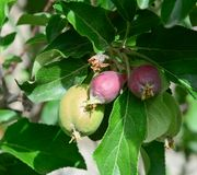 Green apple fruits on tree. At sunny day in Ladakh, North of India Royalty Free Stock Photography