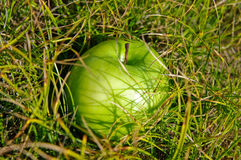 Green apple on grass. Closeup of green apple nestled in grass Stock Photo
