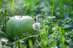 Green apple in the grass. Green apple on green grass royalty free stock image
