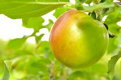 Green Apple Growing on Apple Tree Stock Images