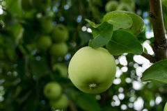 Green apple growing on tree branch closeup. Green apple growing on tree branch closeup the background of other green apples Stock Photo