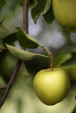 Green Apple Hanging On Tree. Green Apple On Tree Branch Royalty Free Stock Photos