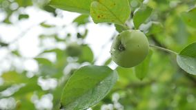 Green apple hanging on a tree, dew water drops slow motion video stock video