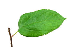 Green apple leaf. On white background Stock Photography