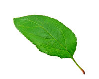 Green apple leaf Royalty Free Stock Images