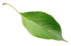 Green apple leaf on white Royalty Free Stock Photos