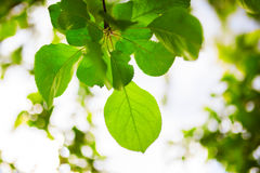 Green apple leaves with blurred bokeh. Background royalty free stock photo