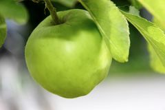 Green apple with leaves in nature. Closeup ofe a green apple with leaves in nature Stock Photos