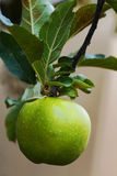 Green apple Stock Photos