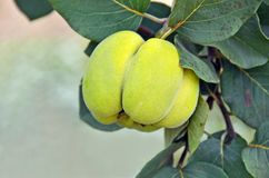 Green apple-quince. On the branch of the tree Royalty Free Stock Photography
