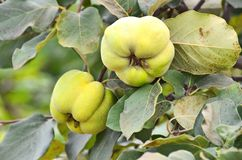 Green apple-quince on the branch Royalty Free Stock Photography