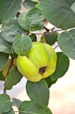 Green apple-quince on the branch. Of the tree Royalty Free Stock Images