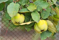 Green apple-quince on the branch. Of the tree Royalty Free Stock Photos