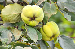 Green apple-quince on the branch Stock Photography