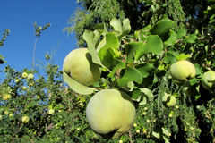 Green apple quince fruits on the tree Stock Photography